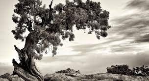 the struggle to protect a tree at the of hopi culture sapiens