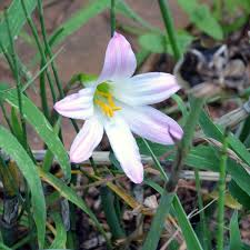Rain Lily Lily Zephyranthes Robusta