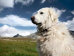 what is a belgian sheepdog great pyrenees dog breed information pictures characteristics
