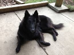 belgian shepherd kennel club is the belgian sheepdog the perfect outdoor companion grindtv com