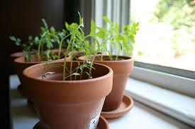 6 fruits and vegetables you can easily grow indoors alternet