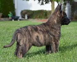 belgian shepherd labrador cross dutch shepherd puppies for sale at cher car kennels dogs i like