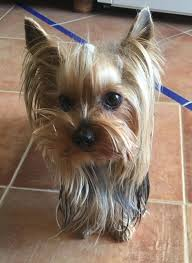 silky terrier with haircut 11984 best yorkshire terrier images on pinterest yorkie yorkies