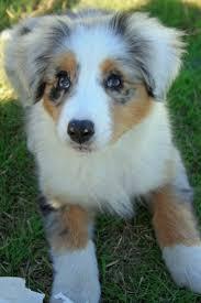 husky x australian shepherd for sale 18 best australian shepherd dream dogs images on pinterest