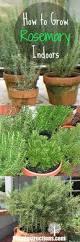 Grow Herbs Indoors by Growing Rosemary Indoors Peeinn Com