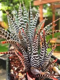 zebra haworthia zebra succulent succulent plant succulents indoor