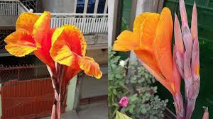 Canna Lily Canna Lily Buds To Blooms Youtube