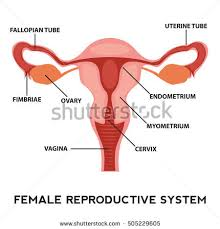 Anatomy Of Reproductive System Female Female Reproductive System Image Diagram Stock Vector