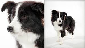 belgian shepherd x border collie border collie dog breed selector animal planet