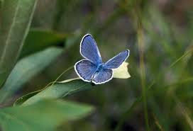 karner blue butterfly lycaeides samuelis wildlife