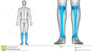 Anatomy Of Human Body Bones Human Body Bone Joint Pains Anatomy Tibia Bones Posterior View