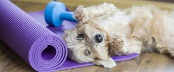 australian shepherd yoga video dog yoga is real u2013 digital doggy