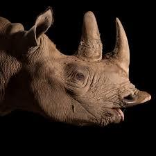 black rhinoceros national geographic
