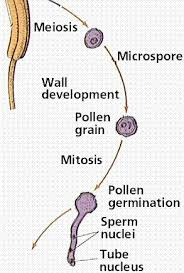 Where Is The Pollen Produced In A Flower - flowering plant reproduction