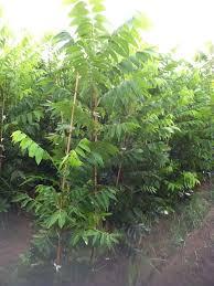 pecan trees ellis type 2 plant me green