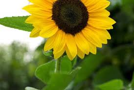 how long after sowing seeds will a sunflower bloom home guides