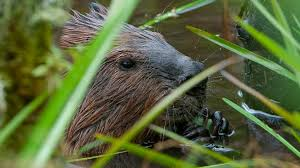 leave it to beavers full episode nature pbs