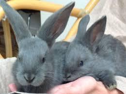 best 25 giant rabbits for sale ideas on pinterest giant rabbit