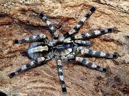 ornamental tarantula