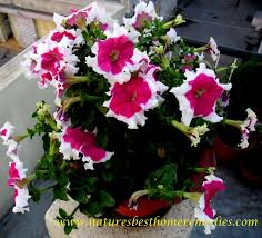 petunia flowers beautiful pictures of petunia flowers