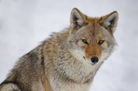 the meaning and symbolism of the word coyote