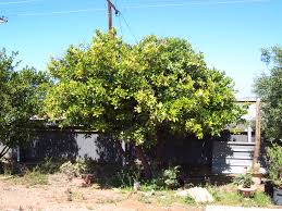 Transplant Fruit Trees - forum transplanting older citrus trees