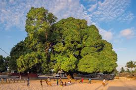 the book wise trees has photos of extraordinary trees around the