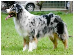 australian shepherd eye diseases australian shepherd dog u2013 disease predispositions pedigree dog