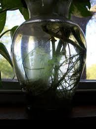 Beta Fish In Vase How To Grow Pothos Devil U0027s Ivy In Water Dengarden
