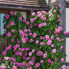 gertrude jekyll u0027 climbing rose from david austin roses she will