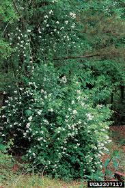 non native invasive plants nonnative roses nonnative invasive plants of southern forests