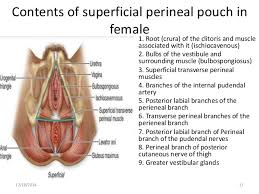 Male Anatomy Perineum Contents Of Male And Female Perineal Pouches Copy