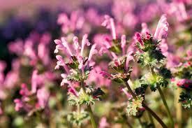 missouri native plants henbit mdc discover nature
