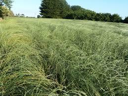 australian native plant seeds australian native grasses for lawn horse pasture native seeds