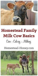 Backyard Dairy Cow Homestead Dairy Cow Basics