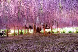 most beautiful wisteria tree in the world photo one big photo