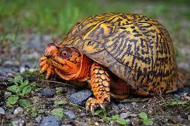turtles of massachusetts mass gov