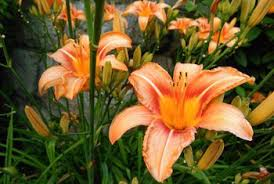 day lilies the difference between asiatic lilies and daylilies home guides