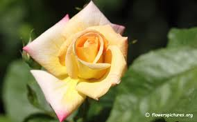yellow roses with tips pictures flower pictures