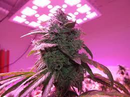 Led Grow Lights Cannabis How To Grow Cannabis Gallery Advanced Led Lights