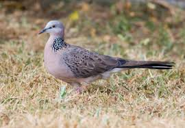 spotted dove birds in backyards