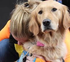 Comfort Golden Retriever Breeders Golden Retriever Comfort Dogs Four Legged Healers Return To