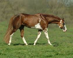 297 best american paint horse images on pinterest beautiful
