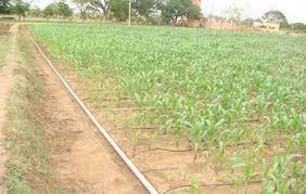 irrigated corn irrigation management maize