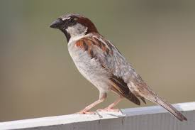 our birdseed feeder is attracting house sparrows now one of these
