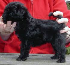 affenpinscher youtube how affenpinscher evolved being today u0027s rare breed our dogs and us