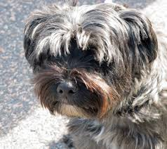 affenpinscher loyalty summit musings dog a day photos scandinavian style