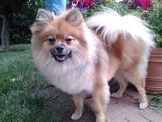 american eskimo dog rescue colorado i found duncan on an american eskimo dog and seattle
