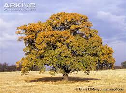 pedunculate oak photo quercus robur a7524 arkive
