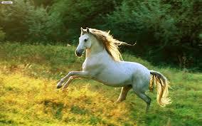 white mustang horse jeopardy 6 flipquiz